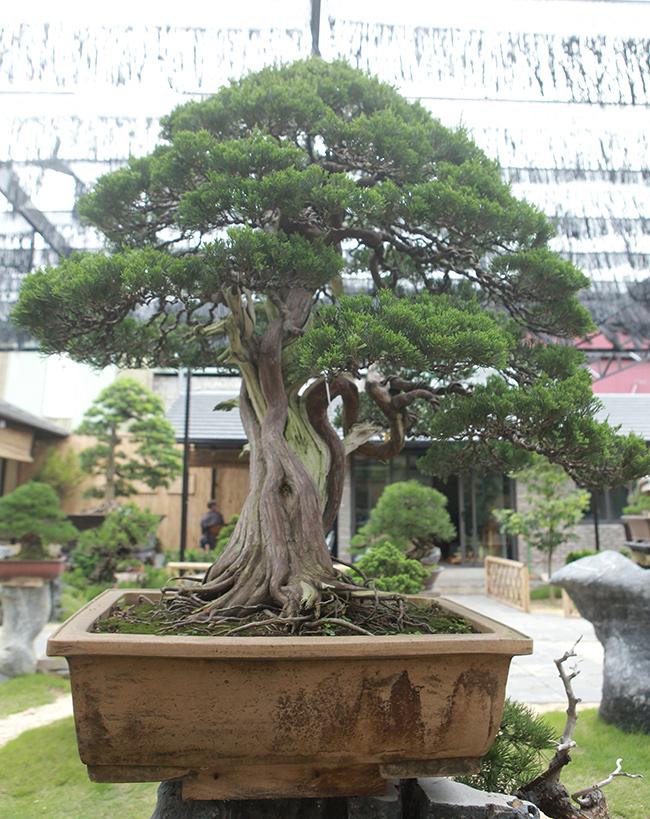 choang ngop vuon bonsai nhat tien ty giua dat bac giang hinh anh 11