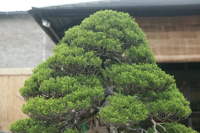 choang ngop vuon bonsai nhat tien ty giua dat bac giang hinh anh 3