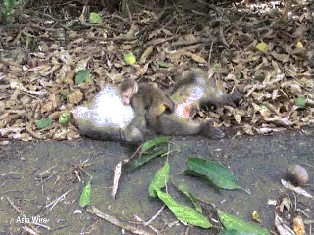 Cảm động khỉ con ôm xác mẹ, quyến luyến không rời