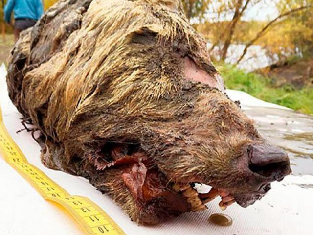 Phát hiện đầu chó sói khổng lồ bị đóng băng cách đây hơn 40.000 năm