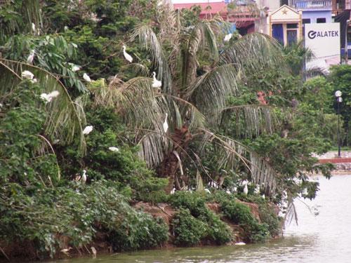 Độc đáo đảo cò giữa lòng thành phố Hưng Yên 1
