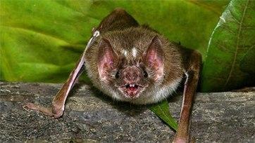 Loài dơi thường sống theo từng bầy trong những nơi hoàn toàn tăm tối như các hang hốc, các giếng cũ, thân cây rỗng và trong các góc tối của nhà cửa. Thức ăn ưa thích của chúng là máu của các loài động vật khác.