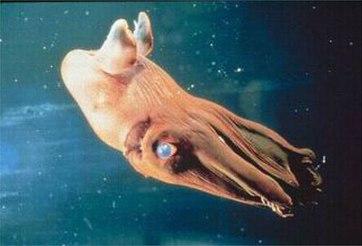 Mực hút máu sở hữu 8 chiếc xúc tu cùng với 2 sợi tua dài, đôi mắt rất to. Thức ăn của chúng chủ yếu là ấu trùng, trứng, tảo, xác của các sinh vật phù du,...