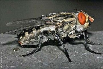 Ruồi trâu. Đây là loài côn trùng kí sinh chân khớp, bộ hai cánh, họ ruồi trâu (Tabanidae). Ở Việt Nam đã phát hiện hơn 80 loài ruồi trâu, trong đó loài phổ biến nhất kí sinh ở vật nuôi là Tabanus rubidus.