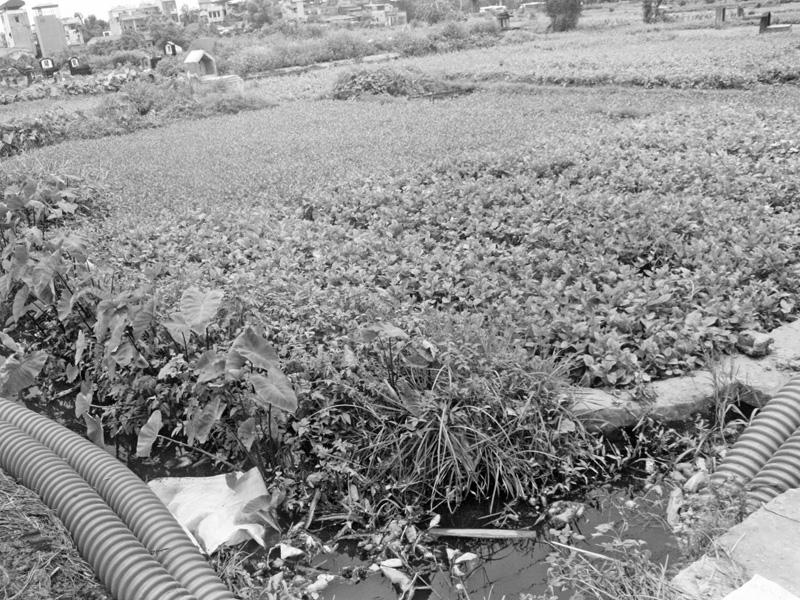 Mương nước thải sinh hoạt là nguồn nước tưới rau