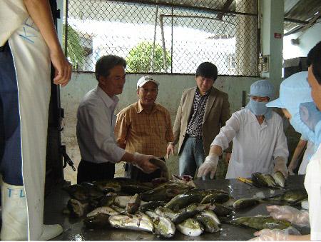 Một cơ sở chế biến cá nóc xuất khẩu ở Khánh Hòa.