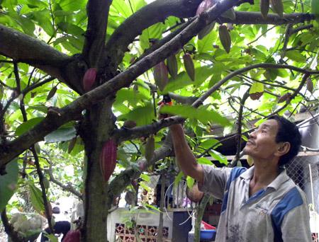 Ông Trần Văn Biết đang cắt cành cho cây ca cao mà ông cố gắng giữ... làm mẫu trong vườn.