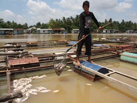 Cá bè trên sông Đồng Nai chết do nguồn nước bị ô nhiễm.