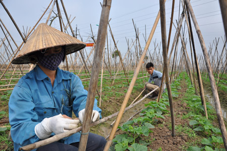 Người dân huyện Phú Xuyên chăm sóc rau màu.