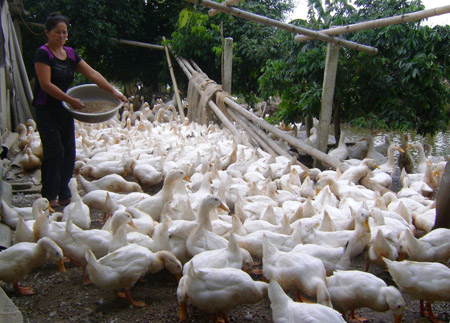 Gia đình ông Đặng Văn Hồng, thôn Miễu, xã Vũ Bản (Bình Lục) mỗi ngày tiêu thụ 400kg TĂCN.