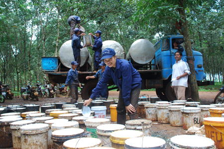 Công nhân thu hoạch mủ cao su.
