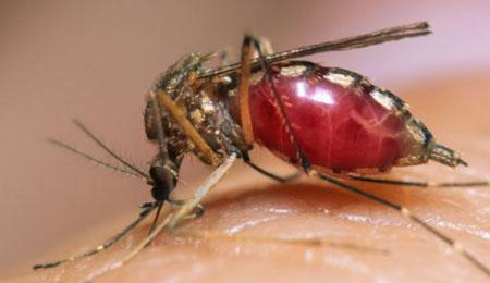 Muỗi đang hút máu. Ảnh: Dailymail.