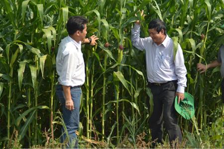 Ruộng ngô lai mà nông dân xã Phú Ninh, huyện Tam Nông, tỉnh Đồng Tháp,  liên kết sản xuất với Công ty Dekalb