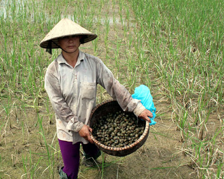 Nông dân xã Nội Hoàng (Yên Dũng, Bắc Giang) bắt ốc bươu vàng hại lúa.