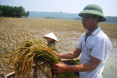 Vợ chồng bà Trần Thị Hoa, ở làng Kén,  xã Tượng Sơn (Nông Cống- Thanh Hóa), đang vớt lúa bị ngập trong lũ.