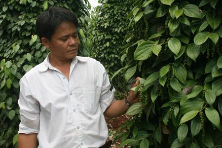 Anh Chiến trong vườn cà phê và tiêu của mình.