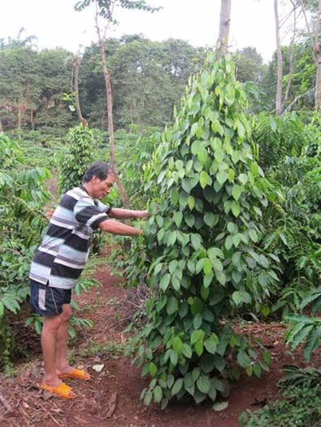 SÁNG KIẾN LẠ: Tuốt lá, tỉa cành lấy cây cao su làm trụ trồng hồ tiêu