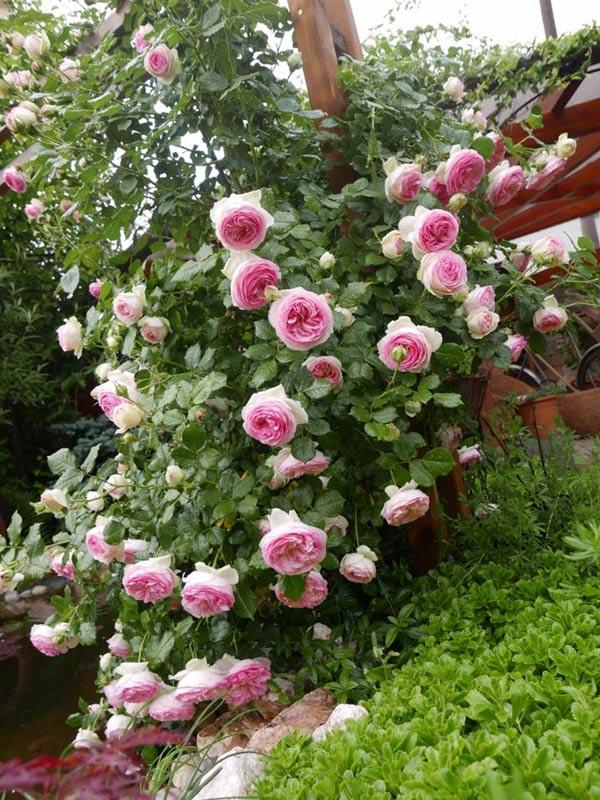 Mẹ Việt của vườn hồng triệu bông mách cách trồng hoa hồng 'lên như nấm'