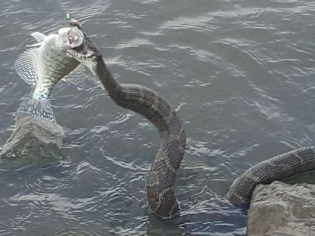Rắn khổng lồ nhảy lên cướp cá của ngư dân Mỹ