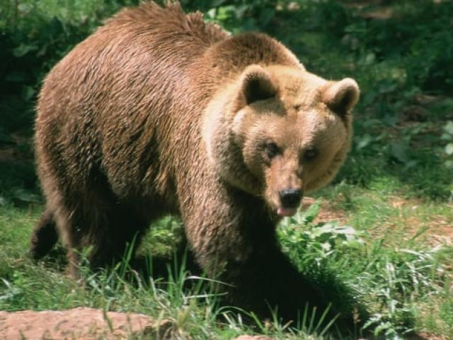 200 con cừu nhảy vực đến chết vì bị gấu truy đuổi