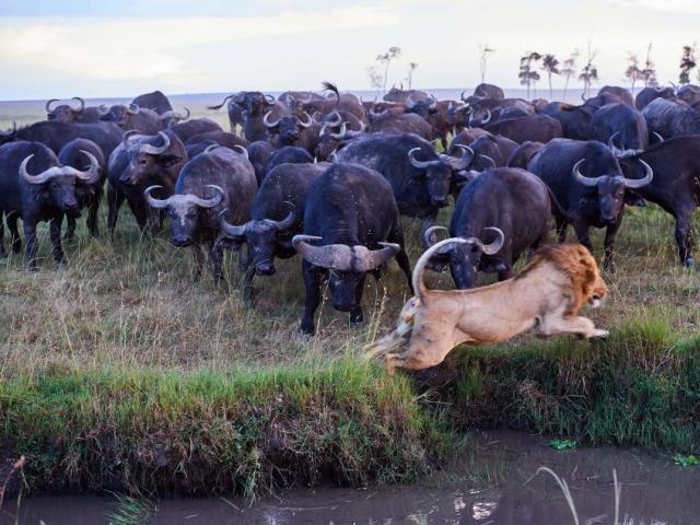 Giết 1 con trâu, sư tử bị cả đàn trâu trả thù đẫm máu