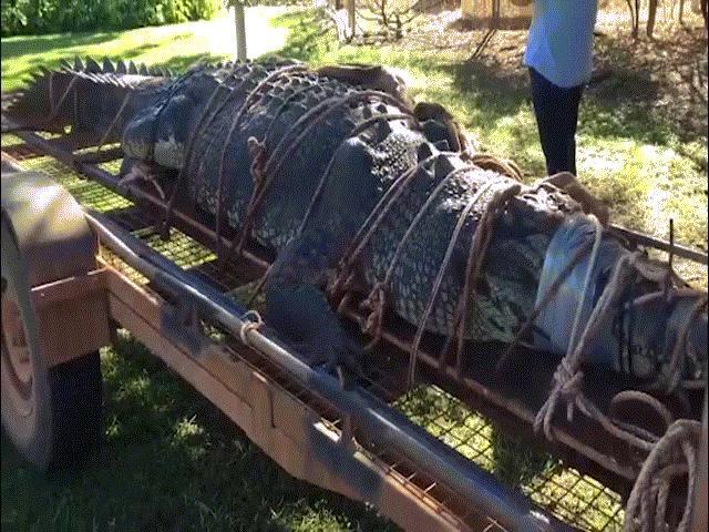 """Úc: Bắt cá sấu """"quái vật"""" 60 tuổi, nặng 600kg sau 8 năm săn lùng"""