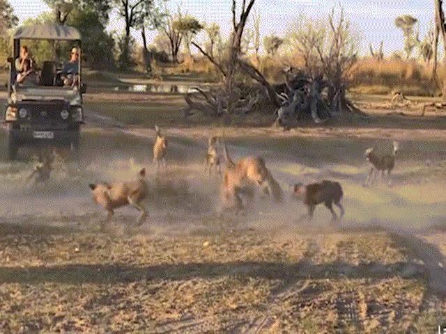"""Bầy chó hoang không biết """"trời cao đất dày"""", tấn công, vây khốn sư tử"""