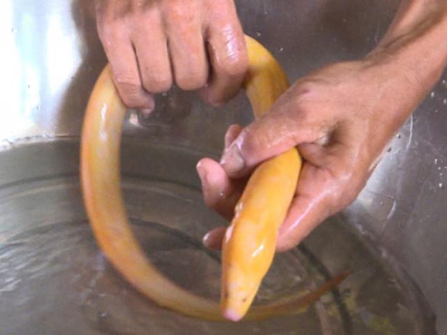 Phát sốt: Lũ về bắt được lươn vàng, không dám ăn, cho làm kiểng