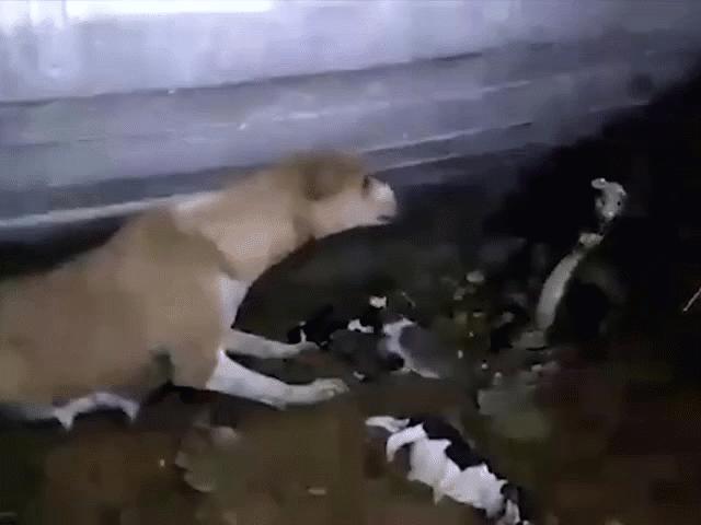3 con bị giết, chó mẹ bất lực đối đầu hổ mang khổng lồ
