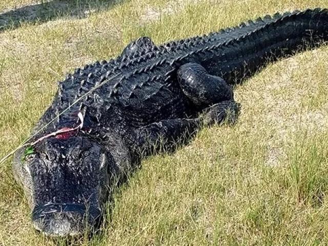 Mỹ: Phát hiện thi thể người trong bụng cá sấu hơn 200 kg