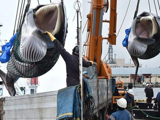 Cận cảnh con cá voi đầu tiên tàu Nhật Bản đi săn về sau 31 năm