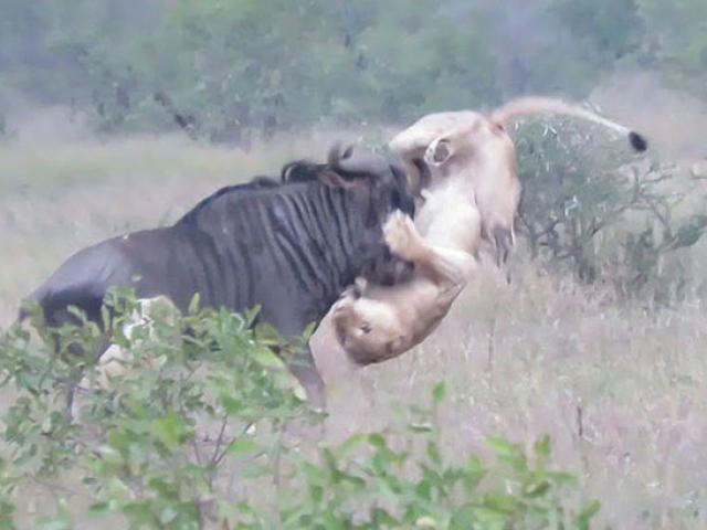 Săn mồi bất cẩn, sư tử bị linh dương đầu bò húc trọng thương