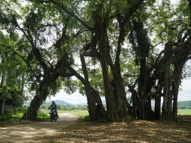 """Chuyện ít biết về cây sanh 800 tuổi trong phim Ma làng: """"Thần hộ mệnh"""""""