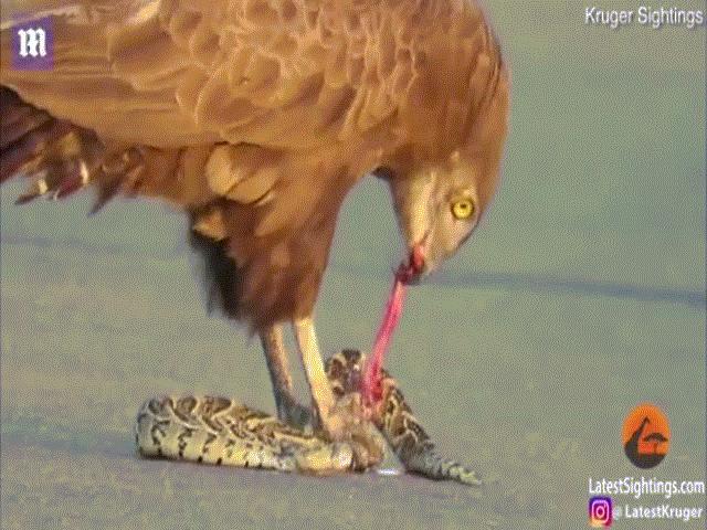 Khoảnh khắc đại bàng ăn sống rắn kịch độc, khiến con mồi đau đớn tột cùng