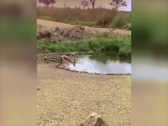 Video:Sư tử lao tới như tên bắn, không ngờ bị linh dương dùng chiêu hiểm làm cho bẽ mặt