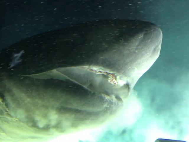 Giật mình cá mập 6 mang khổng lồ bơi sát tàu ngầm nghiên cứu