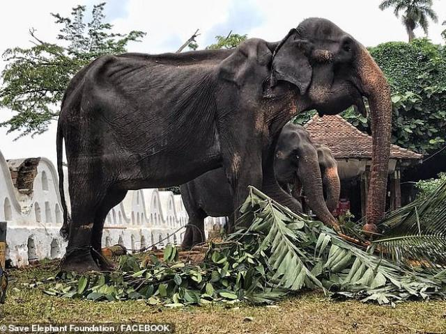 """Sri Lanka: """"Cụ voi"""" sống hơn 7 thập kỷ, gầy trơ xương vẫn bị bắt phục vụ lễ hội suốt 10 đêm"""