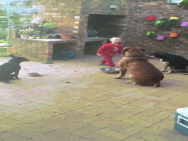Hơn 2,2 triệu lượt người xem clip cậu bé lên 3 điều khiển 3 chú chó