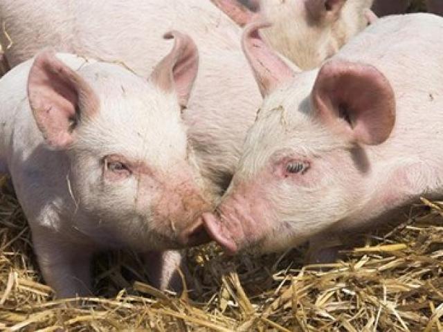 """""""3 năm nữa có thể ghép tim lợn cho người"""", chuyên gia ghép tạng Việt Nam nói gì?"""