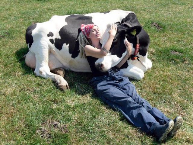 Lạ đời: Giới nhà giàu vứt tiền triệu chỉ để được âu yếm… con bò