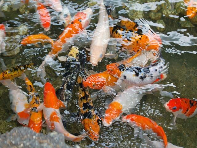 Tim hiểu về giá trị kinh tế của loài cá Koi được thả xuống sông Tô Lịch