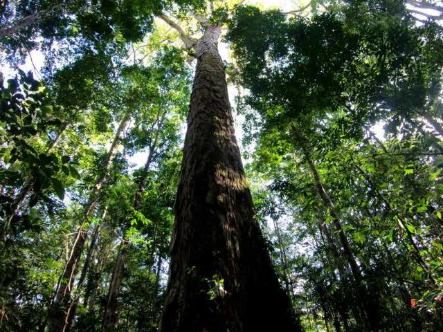 Cây cao nhất trong rừng Amazon cao thêm 50% một cách bí ẩn