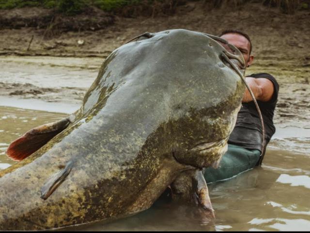 Cá trê ăn thịt lớn nhất thế giới sa lưới ngư dân