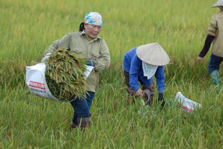 Những diện tích đất làm lúa không hiệu quả có thể chuyển sang trồng cây khác.
