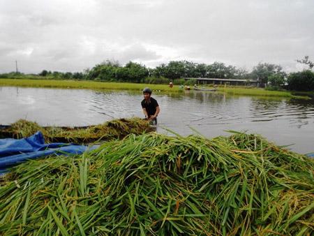 Nông dân phường Nhơn Bình (TP.Quy Nhơn) thu hoạch lúa chạy lũ.