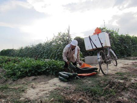 Nhiều hộ dân ở xã Tượng Sơn (Thạch Hà) trồng rau, quả theo quy mô lớn nhưng không có đầu ra ổn định.