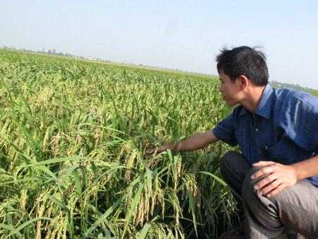 Nhị ưu 838KBL được trồng ở vụ  mùa 2013 tại huyện Vụ Bản, Nam Định.
