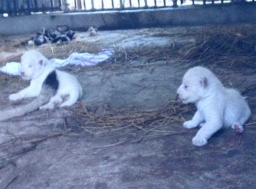 Hai chú sư tử con không mang màu lông của bố mẹ.