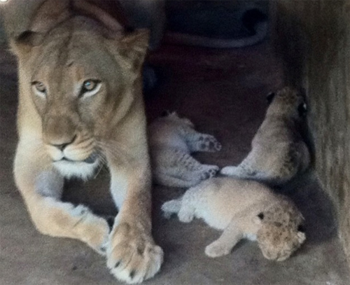 Sư tử mẹ và các con còn lại trong lứa sinh.