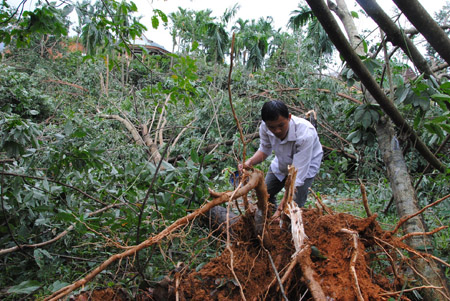 Cây cao su ở huyện Nam Đông (Thừa Thiên - Huế) đổ gãy sau bão số 11.
